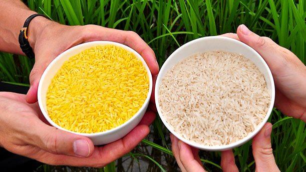 Olası faydaları ve zararlarıyla GDO lu gıdalar pirinç