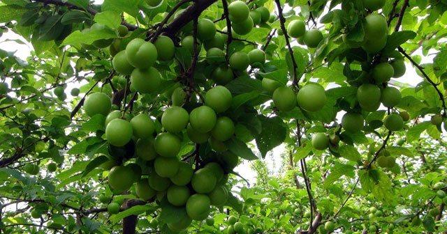 yeşil erik faydaları erik ağacı papaz eriği yeşil erik