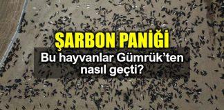 Şarbon paniği: Bu hayvanlar gümrükten nasıl geçti?