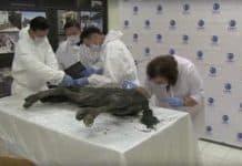 40 bin yıl sonra fosilden yeniden doğacak soyu tükenmiş at