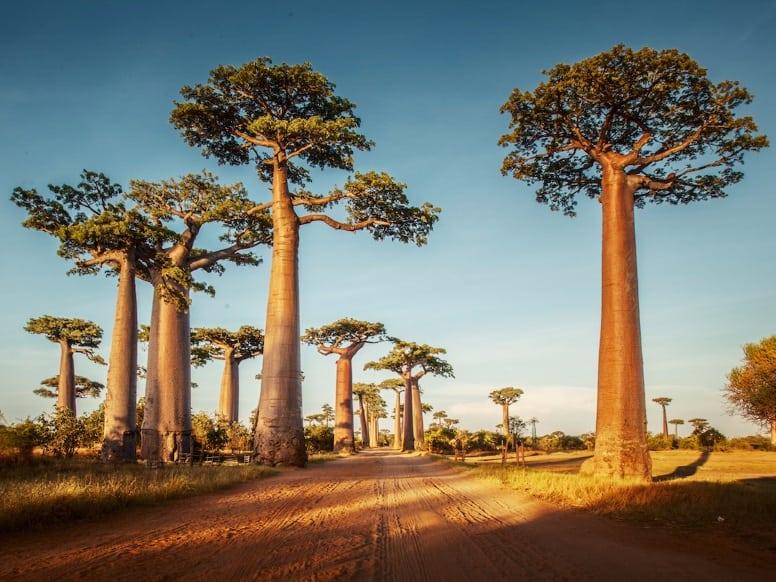 Baobabs Caddesi, Madagaskar