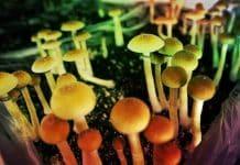 Sihirli mantar (magic mushroom) yasallaşıyor mu?