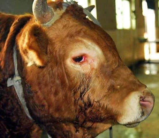 ağlayan hayvanlar inek