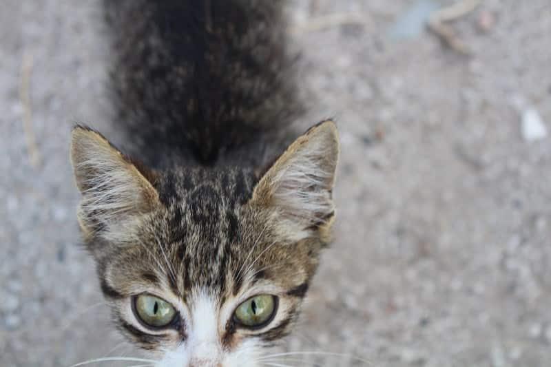 masum kedi