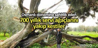 Bursa İznik 700 yıllık servi ağaçlarını yakıp kestiler