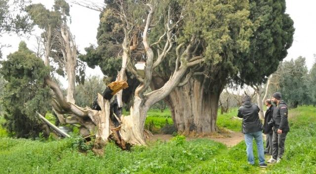 Bursa İznik'te servi ağaçlarını yakıp kestiler (İHA)