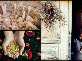 Siyez buğdayı kabukta bir zaman yolcusu belgeseli: Göbeklitepe 10 bin yıllık miras tohum