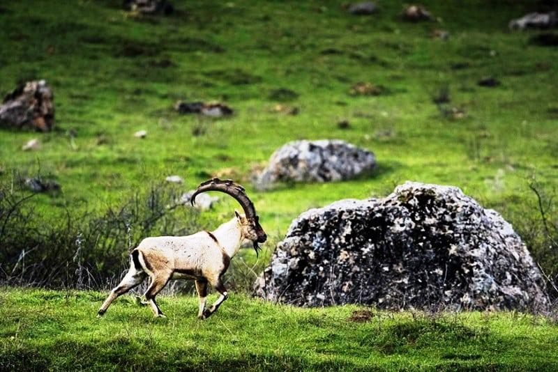 muğla köyceğiz yaban keçisi avı ihale