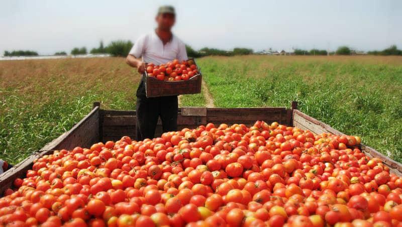 Ukrayna, Türkiye den ihraç edilen giden 38 ton domatesi geri gönderdi iade etti