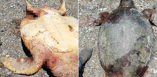 Antalya da 2 caretta caretta bıçaklanıp vurarak öldürüldü