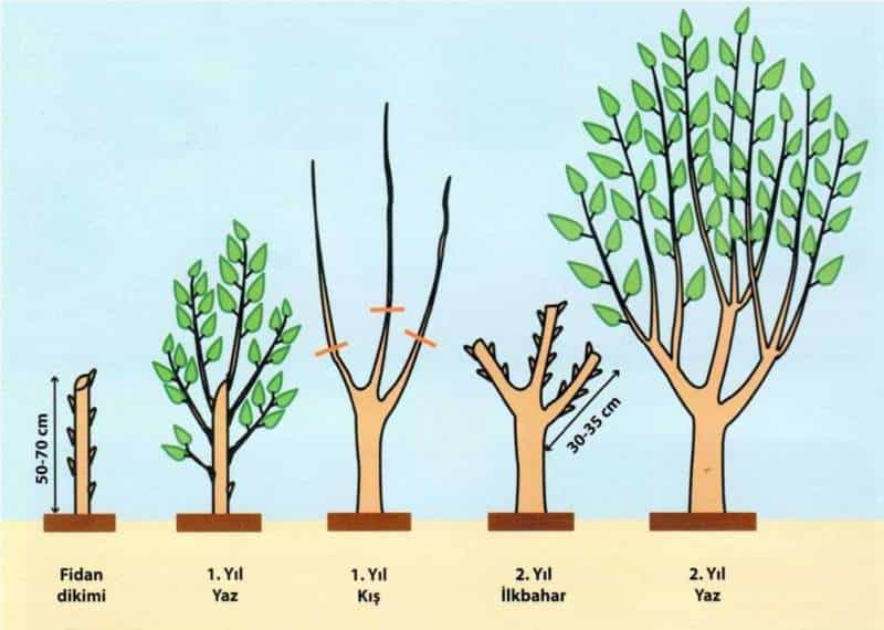dut ağacı yetiştirmek