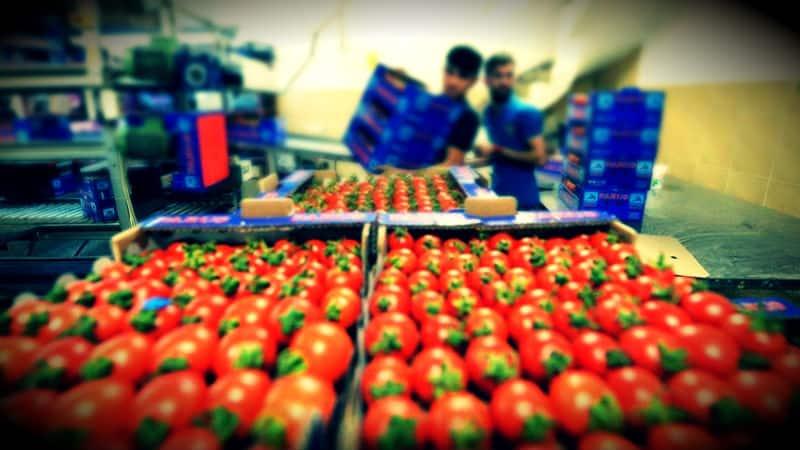 Rusya veya diğer başka ülkelere ihraç edilen tarım ürünleri, zararlı bulunduğu için Türkiye ye iade ediliyor. Peki bu tarım ürünlerine ne oluyor?