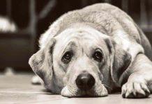 Köpeklerin yüz kaslarının insanlara üzgün görünmek için evrimleştiği keşfedildi