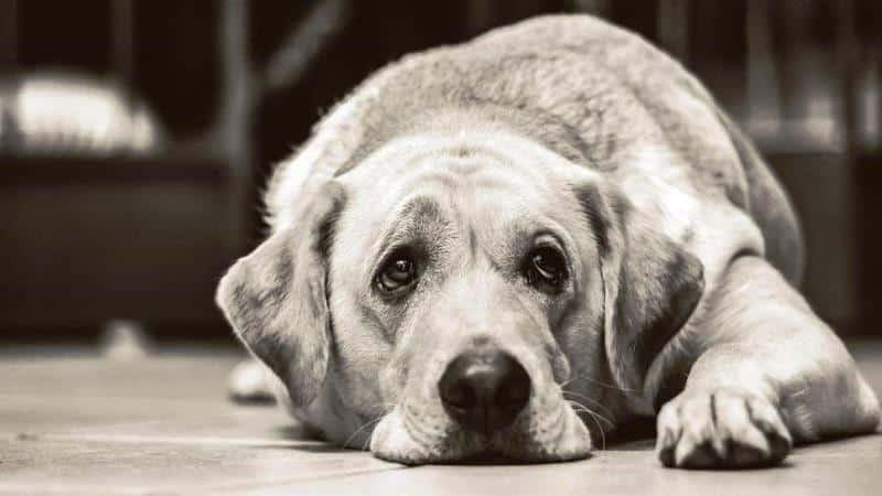 Köpeklerin yüz kasları insanların ilgisini çekmek için evrimleşti