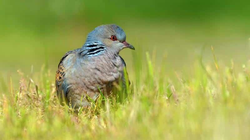 nesli tehlike altındaki kuşların avlanmasına izin üveyik
