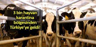 Karantina bölgesinden gelen 3 bin canlı besi hayvanı Türkiye'de!