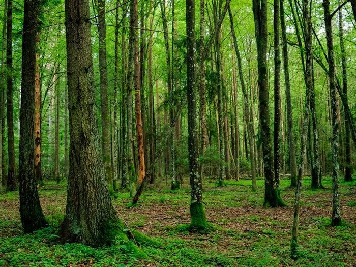 Bialowieza Ormanı, Belarus/Polonya