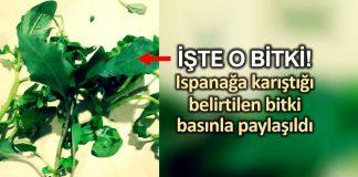 Ispanağa karıştığı belirtilen bitkinin fotoğrafı basınla paylaşıldı