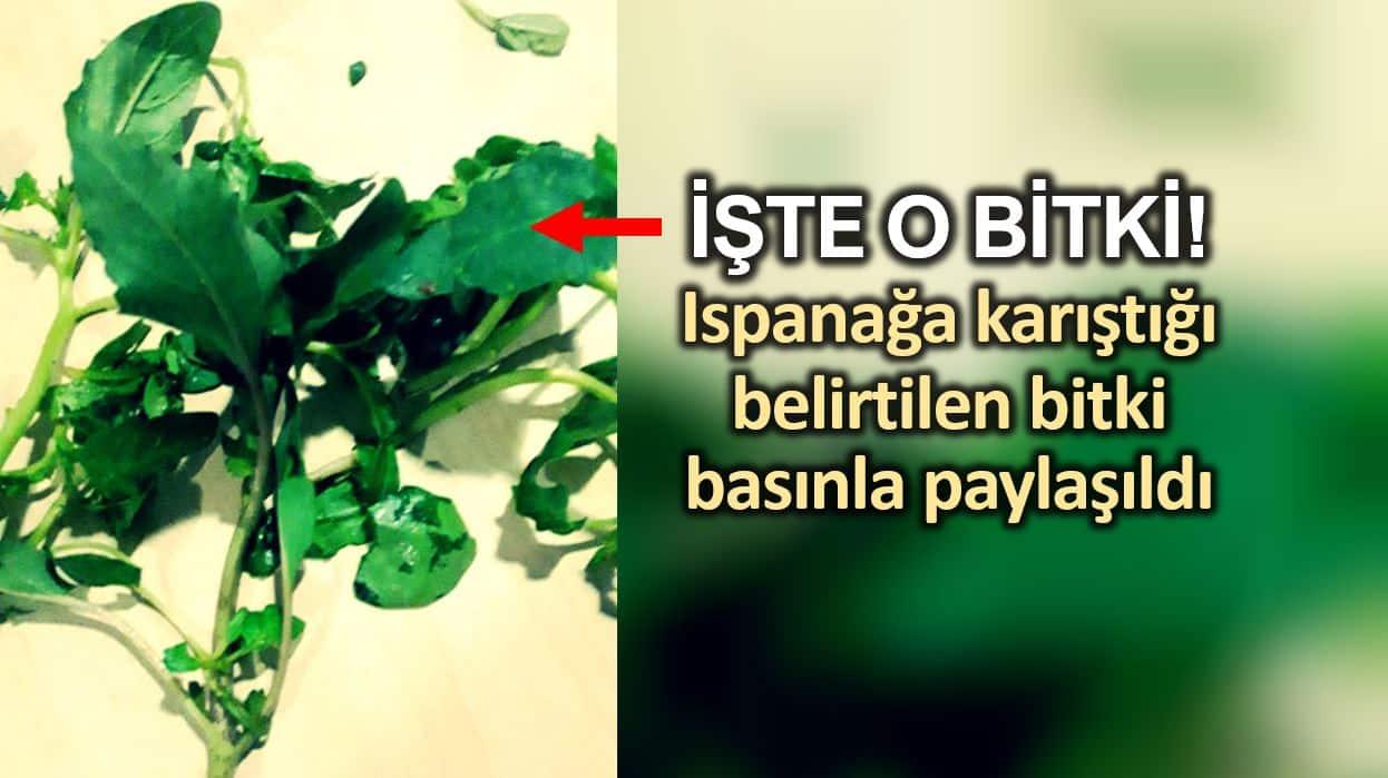 Ispanak ile karıştığı belirtilen bitkinin fotoğrafı basınla paylaşıldı