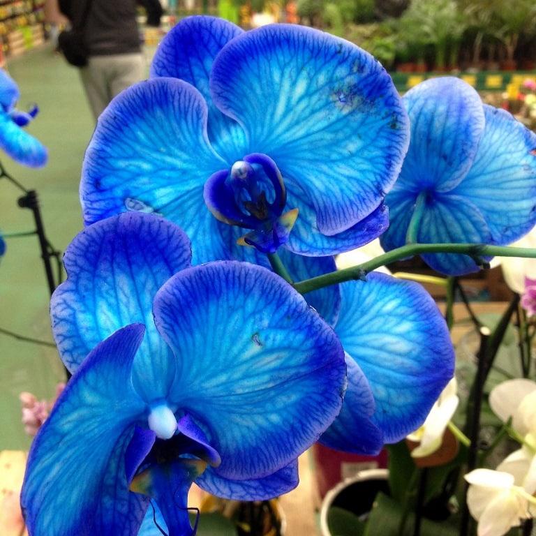 Orkide - Aslan Burcu