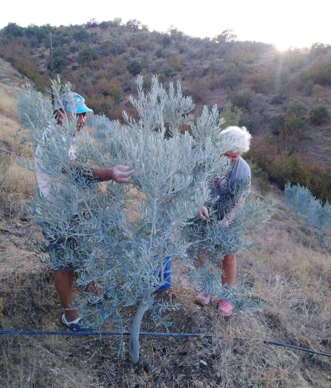 zeytin ağacı çiftçi tarım