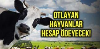Köylü merada hayvan otlatmak için devlete para ödeyecek!