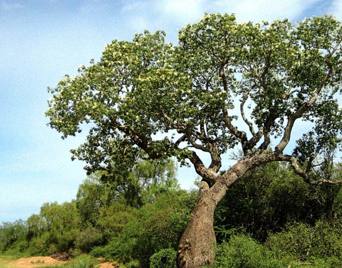 palo santo ağacı