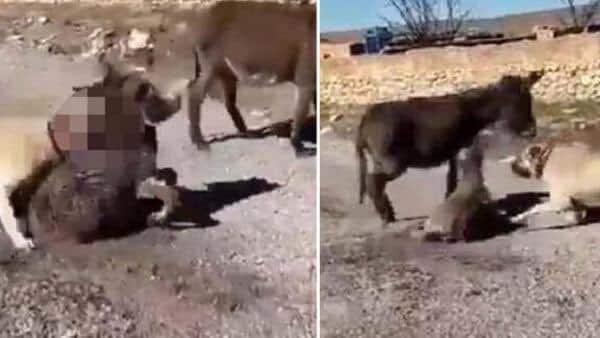 yavru eşeği kangal köpeğine öldürttü
