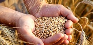 yunanistan buğday