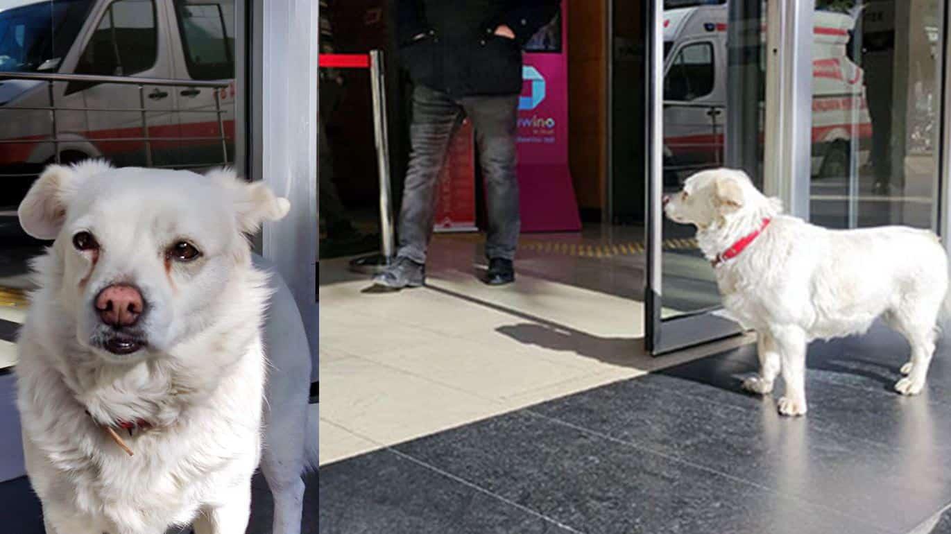 Sahibi tedavi gören Boncuk, 5 gündür hastane kapısında bekliyor!