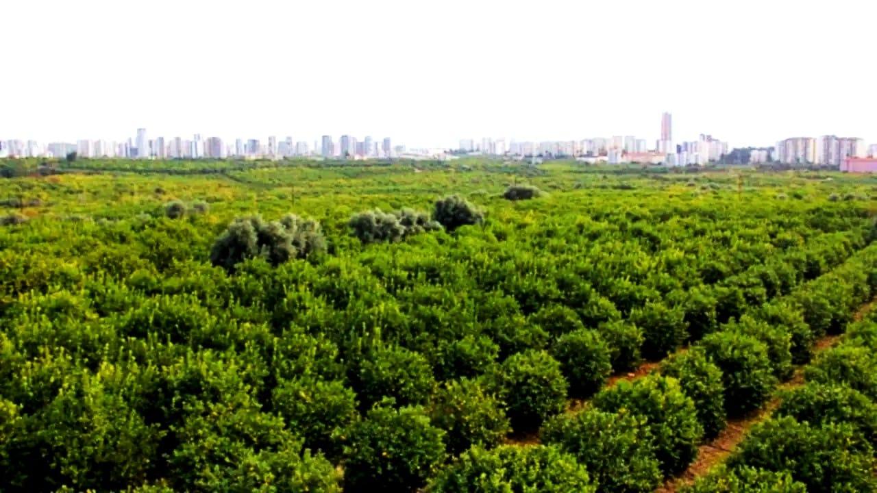 Mersin Mezitli 60 bin narenciye ağacı sanayi sitesi için kesilecek