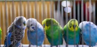 Evlerde beslenen kuşlar alerjik reaksiyona neden olabilir!
