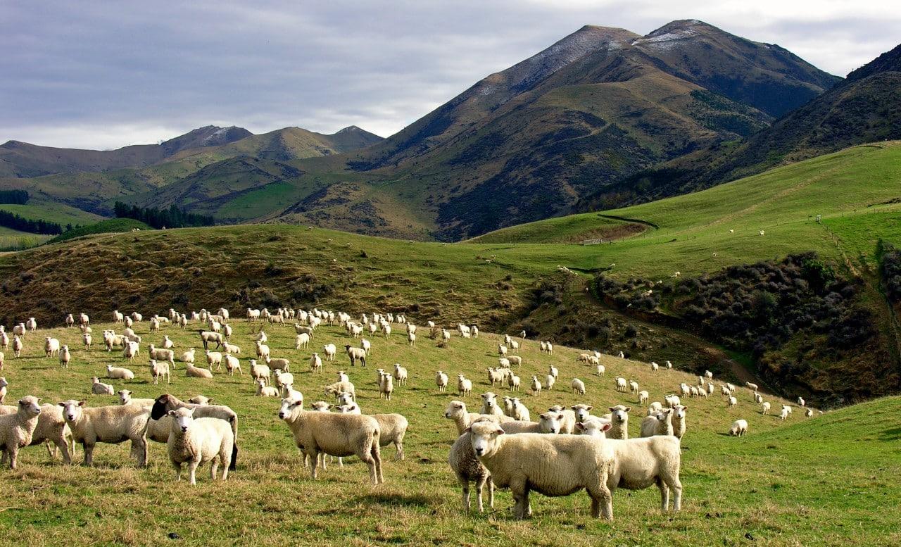 100 koyun kolektif bilinç