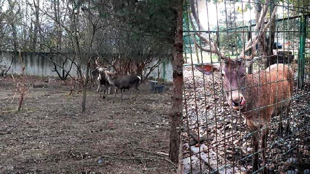 Zonguldak hayvanat bahçesindeki geyiği çalıp yediler!