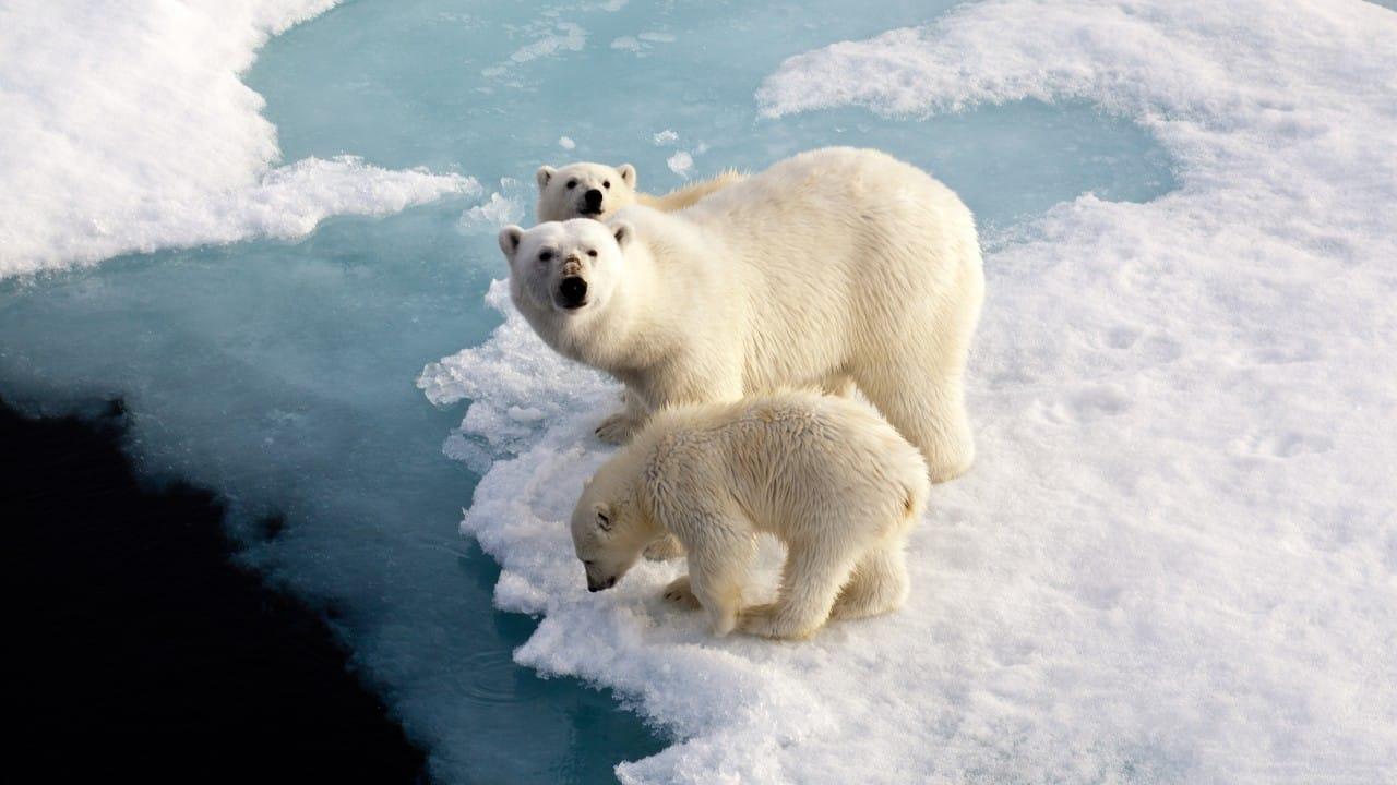 buzullar kutup ayıları